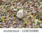 Paltry Puffball Mushroom ...