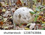 Small photo of Paltry puffball mushroom, Ontario, Canada