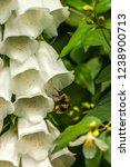 A Bee Entering A White Foxglove ...