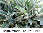 Young Leaves Of Lamb\'s Ear...