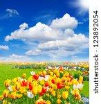 Tulip Flowers Field. Spring...