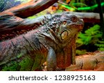 the green  iguana  is a large... | Shutterstock . vector #1238925163