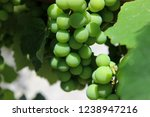 ripening green grapes at the... | Shutterstock . vector #1238947216