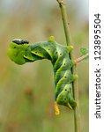 Small photo of Acherontia atropos caterpillar