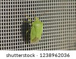 green shield bug or stink bug... | Shutterstock . vector #1238962036