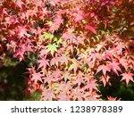autumn leaves of iwayado.... | Shutterstock . vector #1238978389