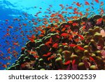 coral reef and school of red... | Shutterstock . vector #1239002539