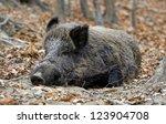wild boar  sus scrofa    Shutterstock . vector #123904708