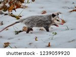Opossum In Snow Covered Winter...
