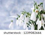 snowdrops spring background....   Shutterstock . vector #1239082666