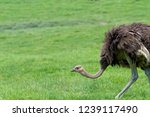 Cute Ostrich Bred In Ostrich...