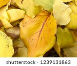 gold colors of autumn foliage | Shutterstock . vector #1239131863