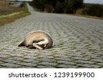 dead badger on cobble stone road   Shutterstock . vector #1239199900