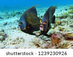 pair of angelfish swimming in... | Shutterstock . vector #1239230926