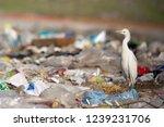 Cattle egret  bubulcus ibis ...