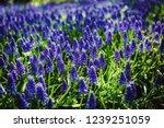 beautiful blue starch grape...   Shutterstock . vector #1239251059