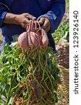 Farmer Hold Sweet Yam Potato