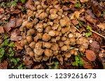 Stock photo mushrooms from a spanish forest selva de irati autumn season 1239261673