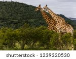 saw these giraffe walking in... | Shutterstock . vector #1239320530