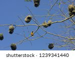 Several Weaver Bird Grass Nests ...