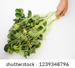 green pears with leaves in the... | Shutterstock . vector #1239348796