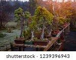 bonsai trees growing outdoors... | Shutterstock . vector #1239396943