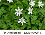 anemona nemorosa closeup during ...   Shutterstock . vector #1239409246