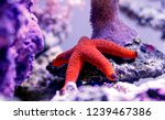 red fromia starfish   fromia... | Shutterstock . vector #1239467386