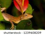 close up shot of garden lizard  ... | Shutterstock . vector #1239608209
