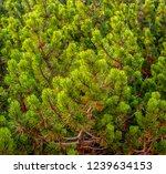 fir tree branches close up  | Shutterstock . vector #1239634153