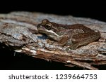 Southern Brown Tree Frog  ...