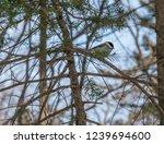 marsh tit on tree brunch at... | Shutterstock . vector #1239694600