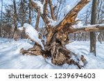snag in the winter forest at... | Shutterstock . vector #1239694603