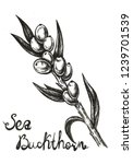 hand drawn sea buckthorn | Shutterstock . vector #1239701539