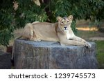 Asiatic Lion Female Rests On A...