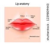 anatomy of lips. illustration... | Shutterstock . vector #1239809443