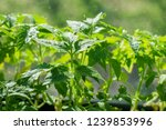 tomato seedlings with water... | Shutterstock . vector #1239853996