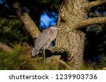 a solitary great blue heron. it ...   Shutterstock . vector #1239903736