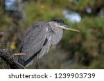 a solitary great blue heron. it ...   Shutterstock . vector #1239903739