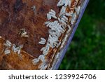wax moth larvae on an infected... | Shutterstock . vector #1239924706