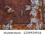 wax moth larvae on an infected... | Shutterstock . vector #1239924916
