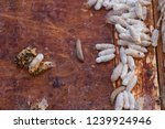 wax moth larvae on an infected... | Shutterstock . vector #1239924946