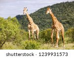saw these griaffe walking while ... | Shutterstock . vector #1239931573