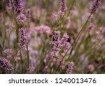 dry flowers on a meadow | Shutterstock . vector #1240013476