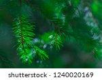 Coniferous Evergreen  Spruce...