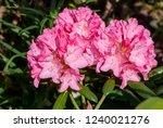 Yakushima Rhododendron Cultivar ...