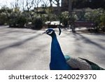 peacock walking in the park | Shutterstock . vector #1240029370