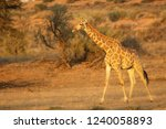 giraffe  giraffa camelopardalis ... | Shutterstock . vector #1240058893