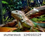 the green  iguana  is a large... | Shutterstock . vector #1240102129