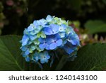 beautiful blue hydrangea flower | Shutterstock . vector #1240143100